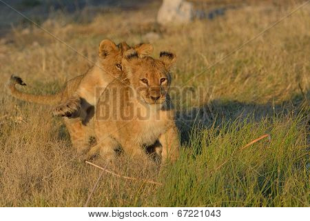 Lion cub chasing one another