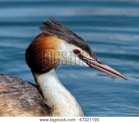 Crested grebe (podiceps cristatus) duck portrait