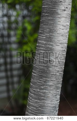 Birch Tree Trunk Detail