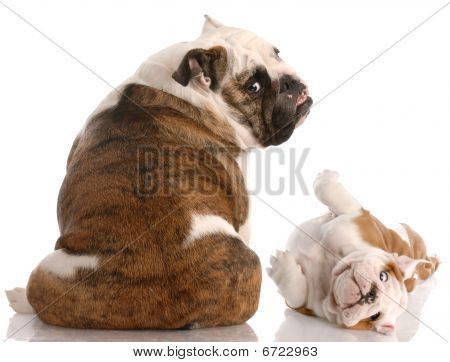 Bulldog Mother And Pup Looking At Viewer