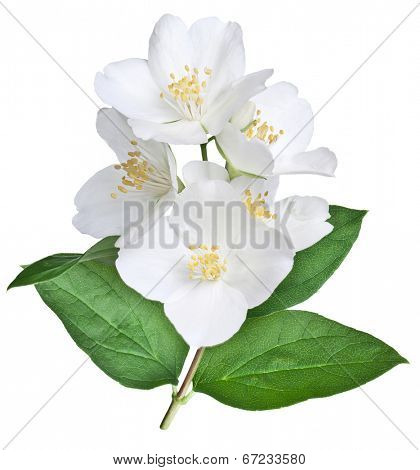 Blooming jasmine flower with leaves isolated on a white background. Clipping path.