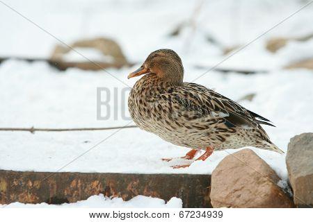Nice Duck In Winter