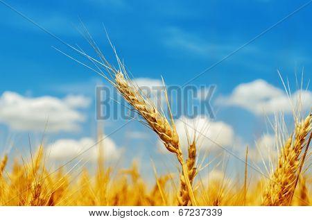 golden barley on field under blue sky