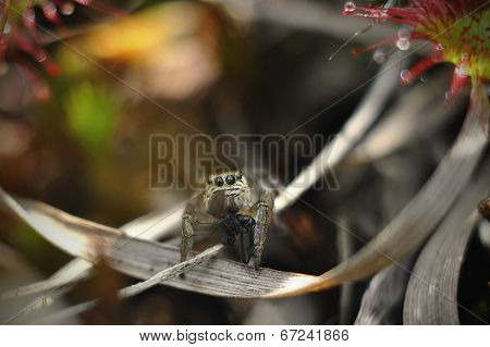 Jumping spider caught an insect