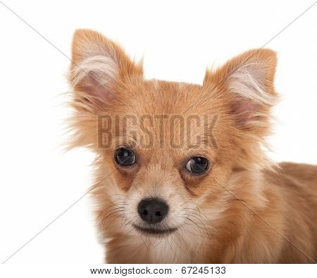 Long Haired Chihuahua Puppy Dog Close-up