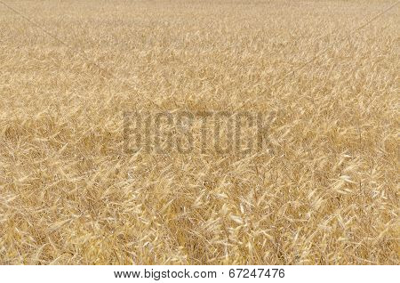 Yellow Grassland Background