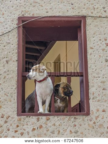 Dogs Watch From Their House Window. Rhodes. Greece