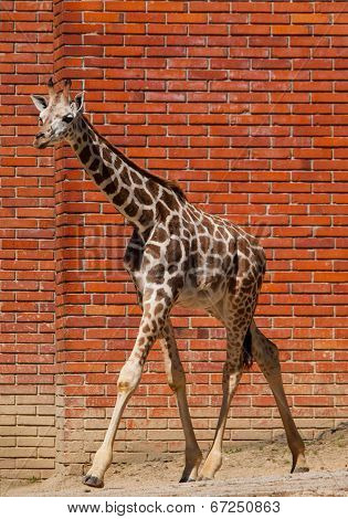 Young Girafe In The Zoo