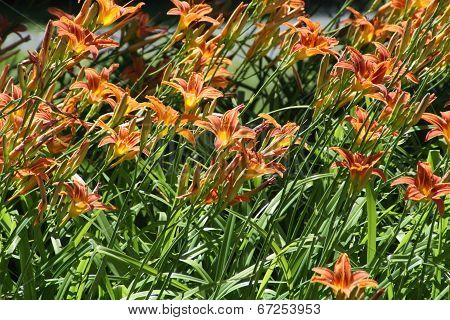 Daylily (Orange)