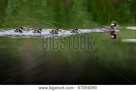 Bufflehead Female With Chicks
