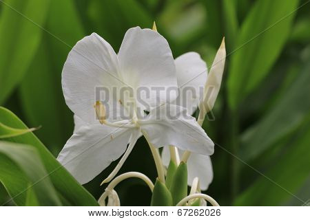 Ginger Lily flower ,Butterfly Ginger,Butterfly Lily,Garland Flower