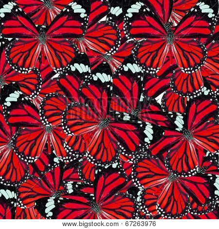 Beautiful Red Background Texture Made Of Common Tiger Butterflies In Fancy Color And Patterns