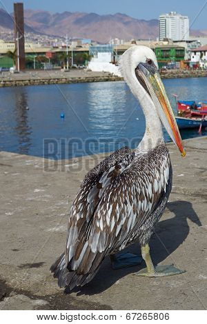 Pelican on the Dockside