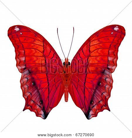 Fancy Butterfly In Red Color Isolated On White Background