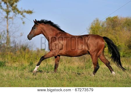 Brown horse runs gallop in a field on a beautiful background