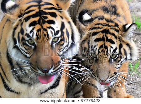A Tiger Mom with her cub