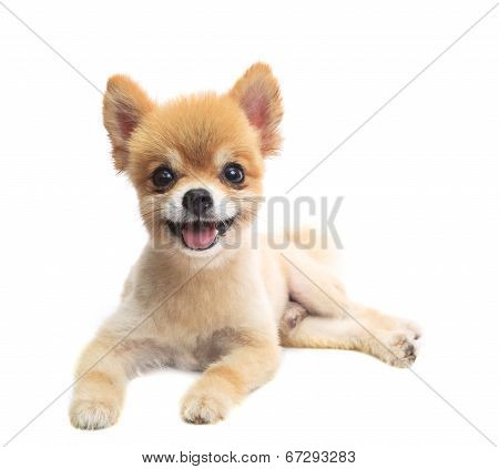 Close Up Face Of Pomeranian Puppy Dog Lying Isolated White Background Use For Pets And Animals Lovel