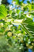 picture of linden-tree  - Bloomin of linden tree in a garden - JPG