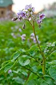 pic of solanum tuberosum  - a flower of potato plant - JPG