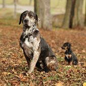 stock photo of catahoula  - Amazing Louisiana Catahoula dog with adorable puppy in autumn