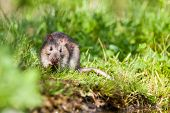 stock photo of rats  - an rat eating on the grass in the park - JPG