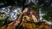 stock photo of kilimanjaro  - A large old tree in the rain forest section of Kilimanjaro trek - JPG