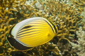 image of blacktail  - Blacktail Butterflyfish - JPG