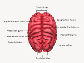 picture of frontal lobe  - The brain is an organ that serves as the center of the nervous system in all vertebrate and most invertebrate animals - JPG