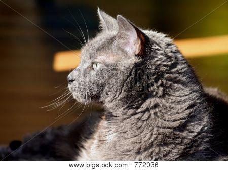 Russin Blue Cat