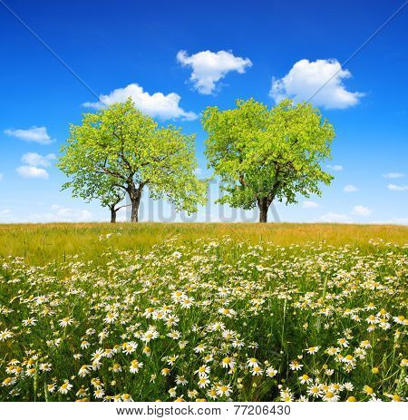 Field of marguerites with deciduous trees and blue sky. Spring landscape.