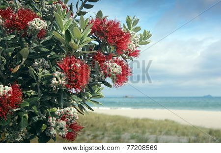 Pohutukawa tree red flowers sandy beach