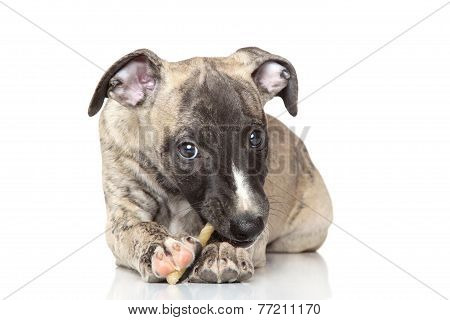 Whippet Puppy Chewing