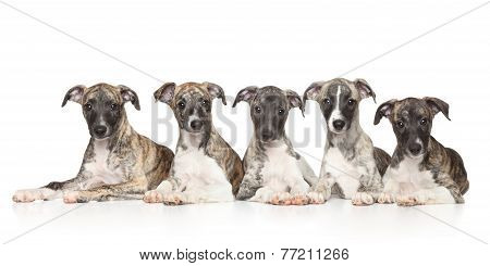 Whippet Puppies On White Background