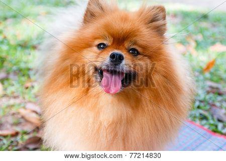 Close Up Of Pomeranian Dog On Green Grass