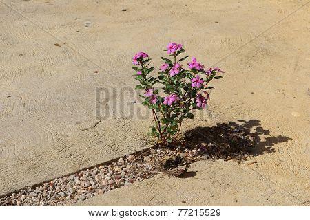 Pink Vinca Plant