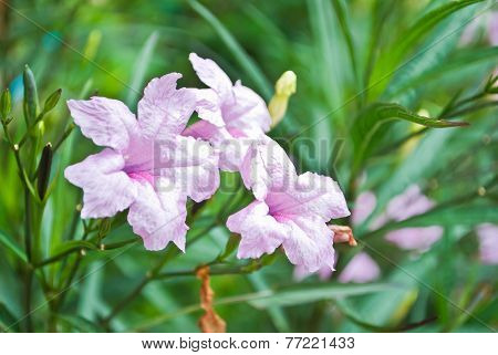 Purple Flowers Bloom In The Morning. (ruellia Tuberosa Linn. Waterkanon, Watrakanu, Minnieroot, Iron