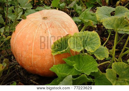 Large Ripe Pumpkin on the Vine