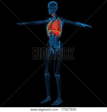 3D Render Medical Illustration Of The Human Respiratory System