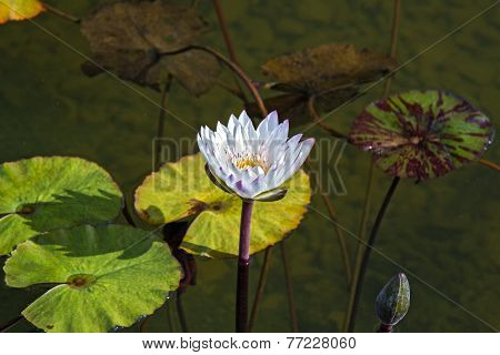Beautiful Photo Of White Lotus .