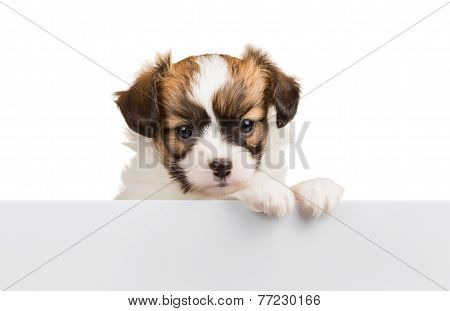 Cute Small Puppy Papillon Leans On Blank Banner