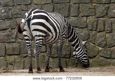 Selous' zebra (Equus quagga selousi).