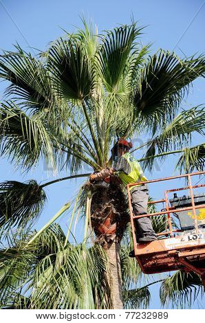 Spanish workman trimming a Washington Palm.