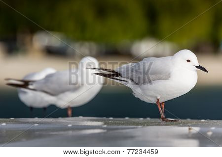 Seagulls Over Nature Background.