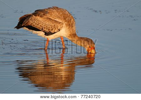 Yellow-billed stork (Mycteria ibis) foraging in shallow water, South Africa