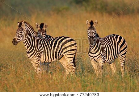 Plains (Burchells) Zebras (Equus burchelli) in grassland, South Africa