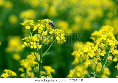 Yellow Wild Flowers (bittercress) With A Huge Bee.