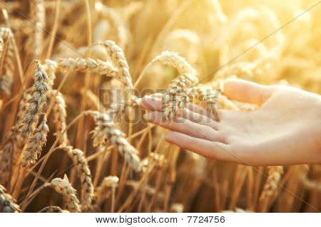 Woman Hand With Ear Of Wheat