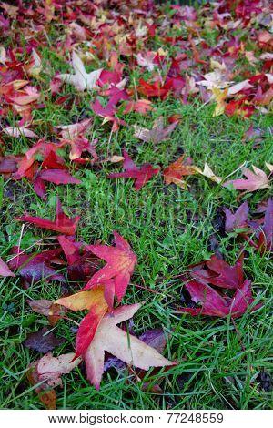 Carpet of Sweet Gum Leaves