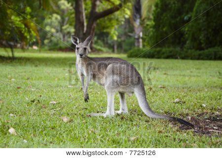 Kangoroos Golf