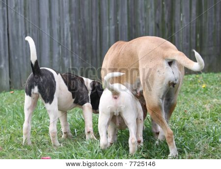 Three American Bulldog Tails